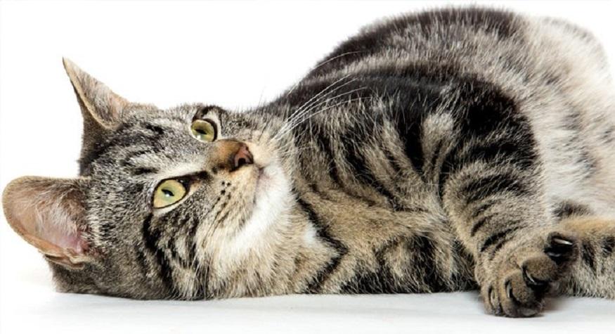 Kucing (foto: tribunnews)