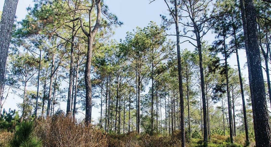 Lahan Hutan Pinus di Aceh (foto: ist/palontaraq)