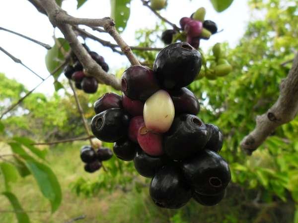 "Buah Pohon Coppeng, ""Anggur Bugis"", disebut umum: Jamblang. (foto: ist/palontaraq)"