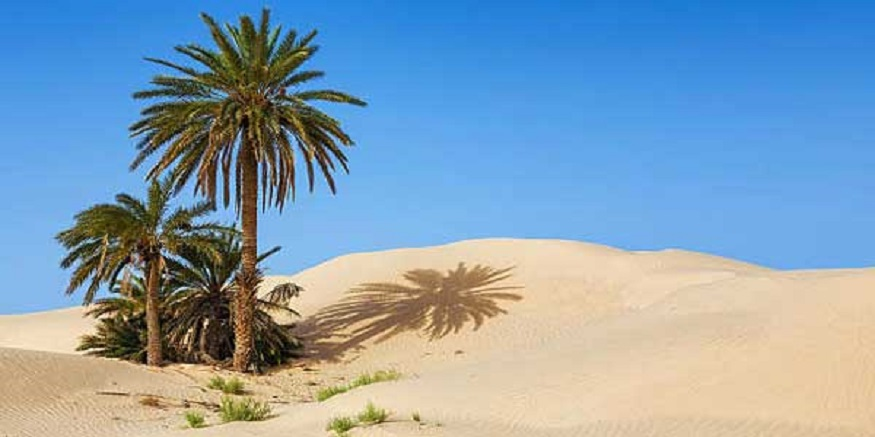 Pohon kurma tumbuh tangguh di gurun pasir. (foto: ist)
