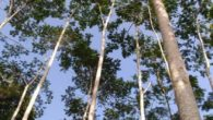 Pohon Sengon. (foto: ist/palontaraq)