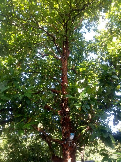 Pohon Buah Dengen. (foto: ettaadil/palontaraq)